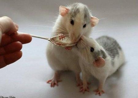 Декоративная крыса. Уход и содержание