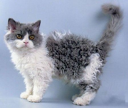 LaPerm описание породы кошек