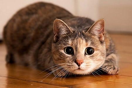 Язвы ротовой полости у кошек