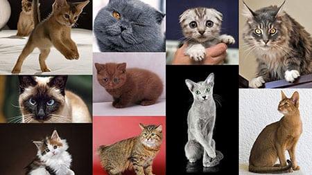 10 Самых популярных пород кошек