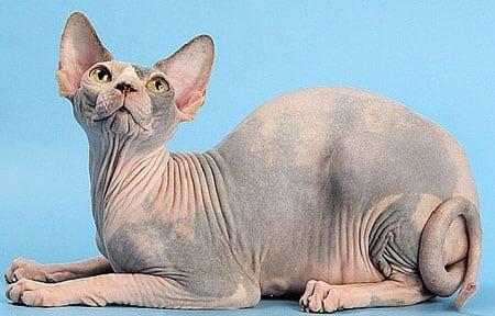 Лысая киска (кошки породы Сфинкс; об особенностях ухода и содержания)