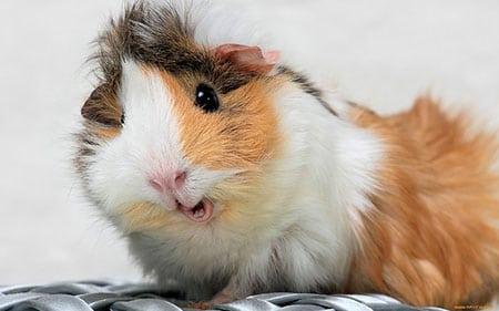Пушистый озорник (морская свинка – особенности ухода и содержания)