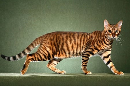 Порода тойгер кошек