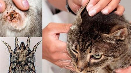 Клещ паразит зудень у кошки