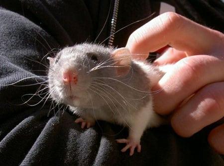 Крыса – домашний питомец или вредитель?
