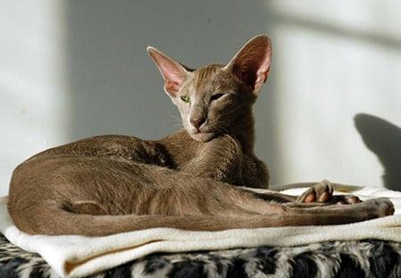 Ориентальная кошка (Иностранная Короткошерстная)