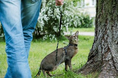 Приучаем кошку к прогулкам со шлейкой