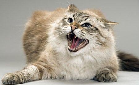 Агрессия кошек