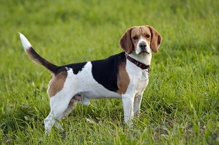 Лечим дирофиляриоз у собаки
