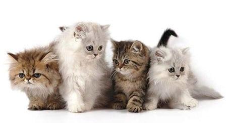 Разница цен на породистых и беспородных кошек
