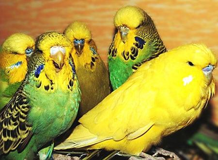 Волнистые попугайчики покупка и уход