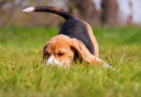 Всегда ли пёсик виляет хвостом от радости?