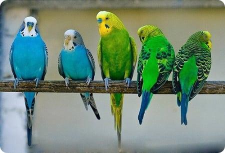 Как правильно ухаживать за волнистыми попугаями
