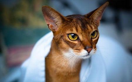 Вопросы здоровья Абиссинской кошки