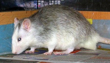 Крысы хаски