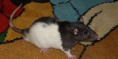 Питание домашней крысы