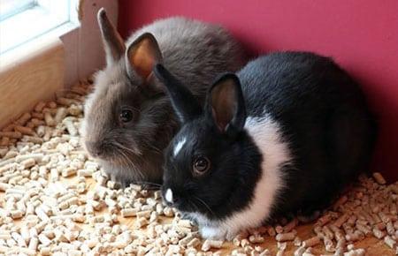 Содержание декоративного кролика в квартире