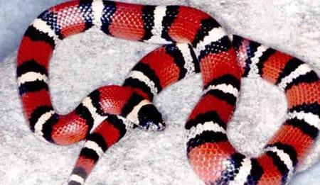 Молочная змея. Содержание и уход