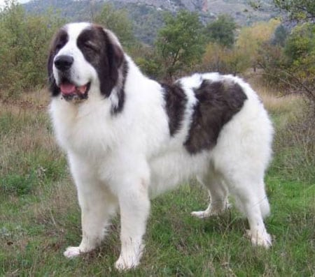 Каракачанская собака как у Президента