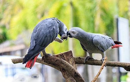 Попугаи жако – порода довольно крупных попугаев